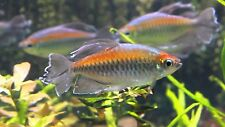 x20 CONGO TETRA - LIVE FRESH WATER FISH - FREE SHIPPING