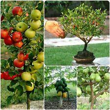 Dwarf fruit seeds - dwarf papaya, pomegranate, guava, apple seeds (10 seeds each