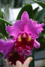Blc. Always Dream `Volcano Queen' Cattleya Orchid Plant