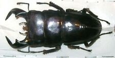 Dorcus bucephalus 70+ beetle Taxidermy REAL Insect