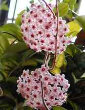 HOYA (PINK WAX FLOWER) - $9 for 1 cutting with NO roots - FREE POSTAGE