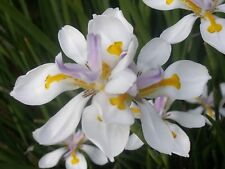 Dietes Grandiflora (African Iris) x 2.5 gr (approx 200+ seeds). Comb. postage LS