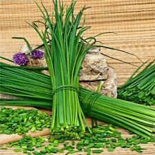 Chives Green Onion - 500 Seeds - NON-GMO, Heirloom Herbs Vegetable Garden seeds