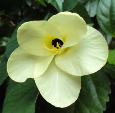 Bauhinia tomentosa YELLOW ORCHID TREE - Cold Hardy - Seeds!