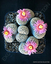 RARE LITHOPS VERRUCULOSA ROSE OF TEXAS @@ exotic living stone rock seed 15 SEEDS