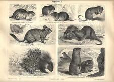 Stampa antica ANIMALI RODITORI Nutria Istrice Marmotta  1890 Old antique print