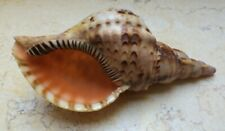 Charonia Tritonis Trumpet Shell Seashells Huge Specimen 6.5 Inch Length rare