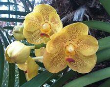 Orchid Vanda Ratchaburi Sirirattana Pink …….Stock #265-4