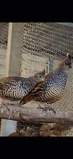 20 + Texas Blue Scale Quail Hatching Eggs