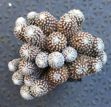 copiapoa laui f.polycephala hort.            grftd,/big/old        11cm