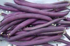 Royal Burgundy Bush Bean Seeds * Tender * Long * Stringless Variety *