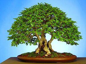 Carpinus turczaninowii (Korean hornbeam) 30 Tree Seeds RARE Outdoor Bonsai | UK
