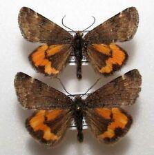 Archiearis parthenias x2 from Poland  (mounted)
