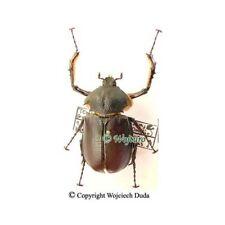 Propomacrus bimucronatus - male, nice, +35mm