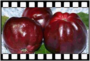 Roter Herbstkalvill, auffällige Apfelsorte mit schwarzlrot leuchtenden Früchten