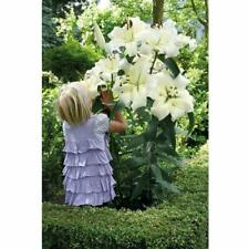 Lily Lilium Bulbs Pretty Woman Oriental Garden Hardy Flowers Perennial Resistant