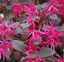 PLUM GORGEOUS Loropetalum chinense dark-foliage pink-flowers plant in 180mm pot