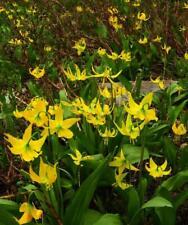 Erythronium Grandiflorum 5 Seeds,Glacier Lily, Perennial, Long Lasting