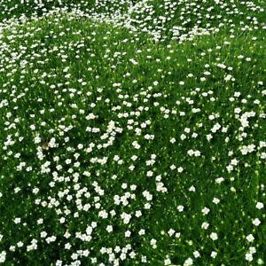 Sagina 'Moss Green' XL Plug Plant x 2. Compact ground cover.