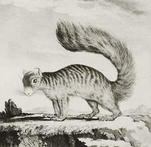 1771 Antique Buffon copper engraving of a SQUIRREL. Orange, Coquallin Squirrel.