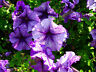 PETUNIA DELUXE MIXED COLORS - 1000 SEEDS - BALCONY FLOWER - Petunia hybrida