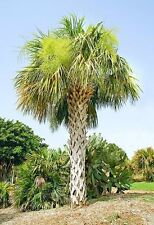 SABAL PALMETTO - Tropical Palm Tree Seeds - 10 Fresh Seeds
