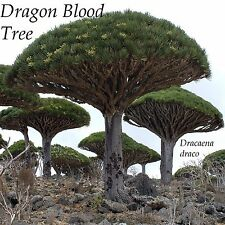 ~DRAGON BLOOD TREE~ Dracaena draco ANCIENT TREE Live 12-18+in Pot'd Plant