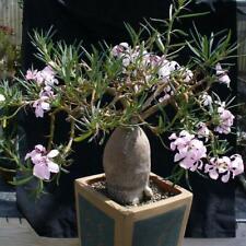 Pachypodium succulentum !!! 10 PCS OF FRESH SEEDS !!!
