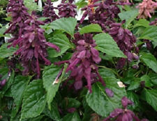 50 Salvia Sizzler Purple Seeds FLOWER SEEDS