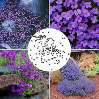 250pcs cascade violet Aubrieta fleur graines vivaces couvre-sol romantique M1K3