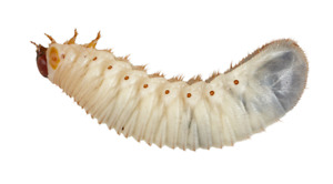 Pachnoda Fruit Beetle Larvae - Fascinating pets or great livefood for lizards