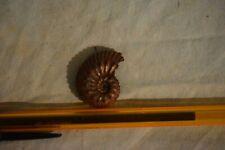 ammonite Kosmoceras lithuanicum callovien, Russie plus de 10 a l'unité