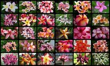 "Plumeria Rubra Frangipani ""Mixed 1000 Seeds"" FRESH Rare"