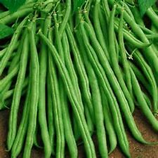 "Tendergreen Bush Green Beans! 5-6"" LONG! COMBINED S/H SEE OUR STORE"