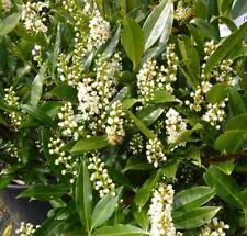 6  Piante di Viburno Lucido cespuglio siepe giardino vaso 9x9 viburnum lucidum