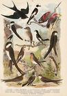 Vögel Mauerläufer Alpensegler Mauersegler Uferschwalbe Farbdruck 1923 Bild Druck
