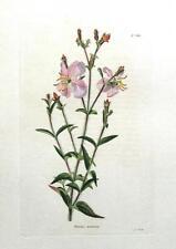 RHEXIA MARIANA,USA Maryland Meadowbeauty Loddiges Botanical  Antique Print c1820