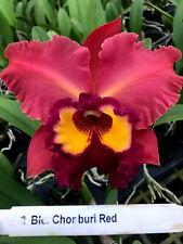 Blc Chonburi Red, orchid plant