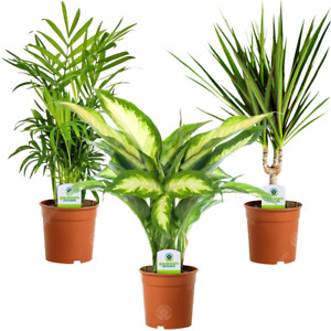 Indoor Plant Mix - 3 Plants - House / Office Live Potted Pot Plant Tree (Mix B)