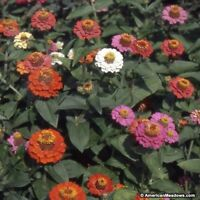 Zinnia- Elegans -Thumbelina Mix- 100 Seeds