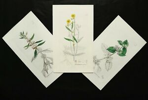 1800 Set of 3 Antique Copper Engravings: WILD FLOWERING PLANTS. FLOWERS. BOTANY.