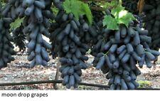 Rare moon drop grapes 3 fresh cuttings