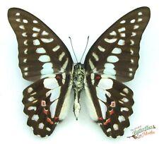 Graphium Mayeri Echter Schmetterling Africa x1 A1- Verso Entomologie Insekt