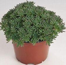 50 Sedum Seeds Lizard Green (PERENNIAL)