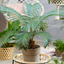 Cycas Revoluta Houseplant   Popular Indoor 30-40cm Potted Plant for Sale