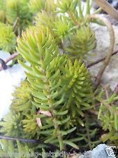 20 SEDUM REFLEXUM EVERGREEN ALPINE  ROCKERY PERENNIAL PLANTS STONECROP  RUPESTRE