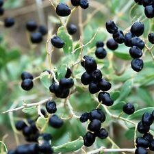 Goji Nero Lycium ruthenicum 20 Bacche secche