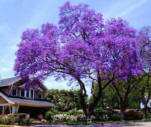 Blauglockenbaum - Paulownia Tomentosa - 50 Frische Samen