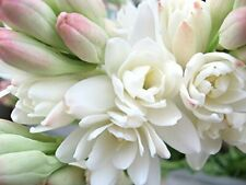 Polianthes Tuberose Flower Bulbs Fragrant Perennial Long Lasting Blooms Gifts