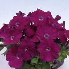 0.1g (approx. 800) large flowered petunia seeds PETUNIA GRANDIFLORA purple color